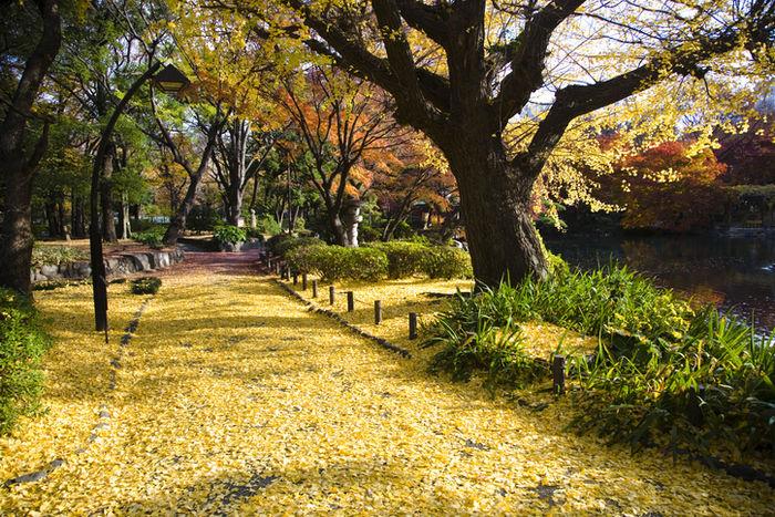 イチョウの葉が落ちている日比谷公園の写真