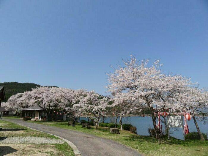 椛の湖の桜