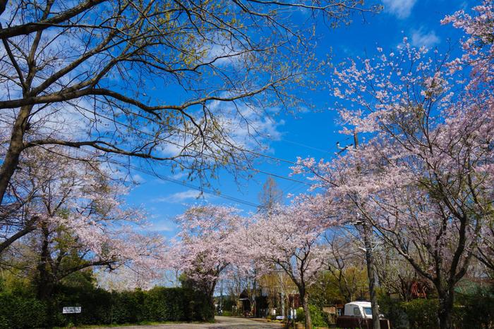 有野実苑オートキャンプ場の桜が咲いている画像