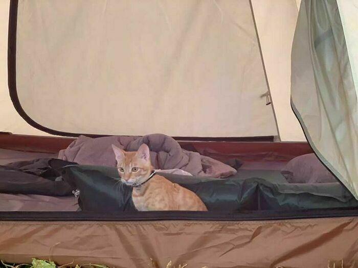 テントから外を眺める猫