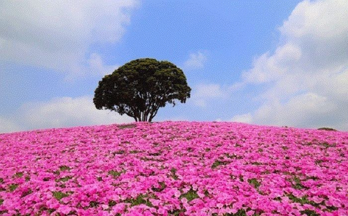 マザー牧場のペチュニアの花畑