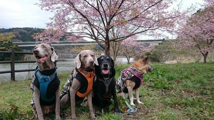 桜の木の下に座る犬たち