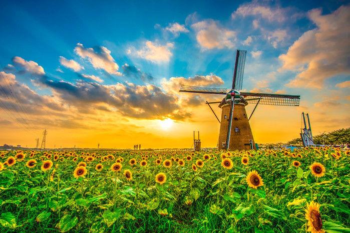ひまわり畑と風車