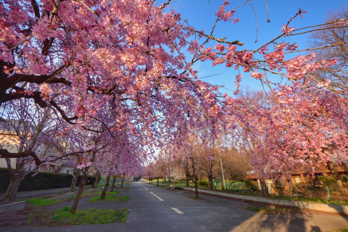 桜並木の道路