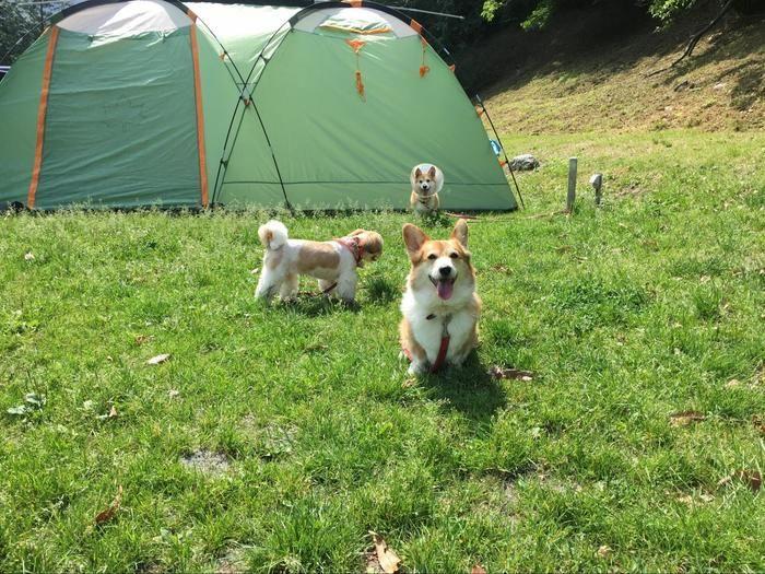 テントと走り回る犬