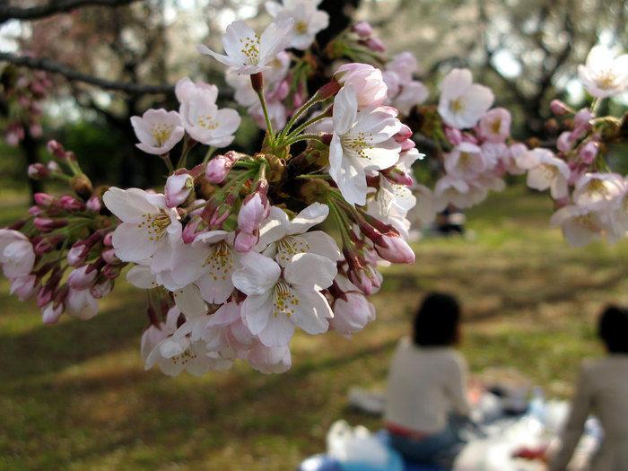 桜の木の下でお花見をする女性