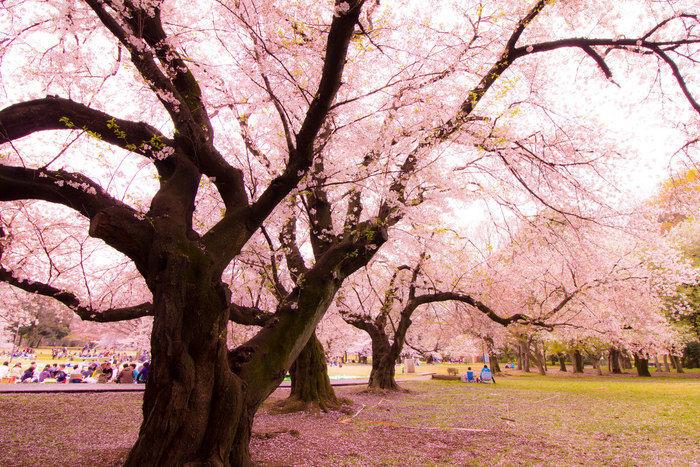 砧公園の桜の木