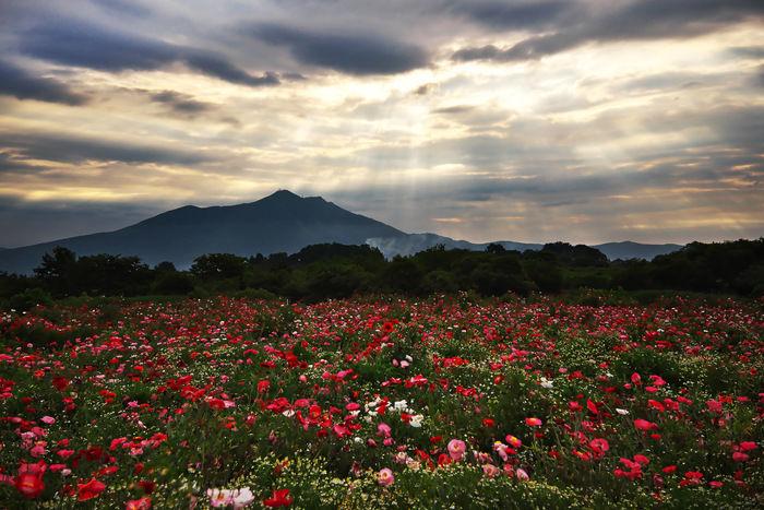 筑波山と花畑