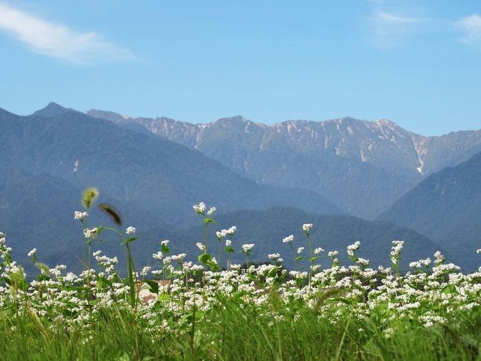 たくさんの小さな白い花とそこから見える山